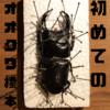初めてのオオクワガタ標本製作〜展足まで【実はオオクワガタは初めて】