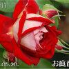 マダムミユキが咲いたよ!! 2011/05/20