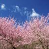 ソメイヨシノの儚くも悲しい運命(さだめ)のお話。【桜前線北上中!】