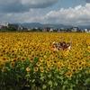 台風一過のヒマワリ畑…
