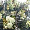 [生活」雨予報がはずれ「たぶせ桜まつり」は賑わっていた。