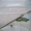 キアゲハのさなぎが羽化した瞬間を見たことありますか?!見れて感動!コレは夏休みの自由研究にもってこい!