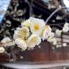 20年2月北野天満宮の梅のお話。