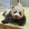 【パンダの名は。】アドベンチャーワールドの赤ちゃんパンダの名前が発表されたよ!
