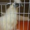 烏骨鶏ー雛から成鳥になるまでの記録  ー 鶏の室内飼い
