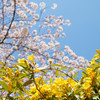 今日の景色 03/31 桜と……