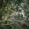 今日の野鳥の島はやはり鷺だらけでした