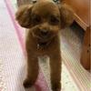 愛犬2ヶ月ぶりのトリミング❣️リボンは可愛いけど…