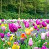 オランダ・アムステルダム: キューケンホフ公園