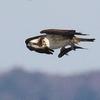 捕らえた魚をぶら下げて飛翔するミサゴ