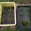我が家田んぼ【田植えから一ヶ月。現在の稲の様子は。】