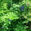 あふれ出る園芸植物:野生化、帰化