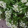 朝のしずくと植物達  in  青山町  in  盛岡
