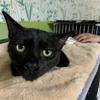 きれいな黒猫ポールくん【1月里親様募集】