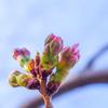 この三連休で多摩地区のソメイヨシノも開花宣言!?
