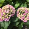 初夏、あじさいの花!