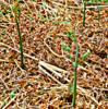 ワラビ採り  自然の中でのソシアルディスタンス