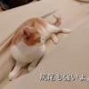 雨田甘夏、取り合いです。【猫とお手伝いと組み立て家具事情】