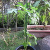 9/1 夏オクラ植えてみました。 22日目