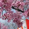 上野公園の桜満開 そして上野駅公園口が新しくなっていた!!