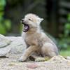 【夢日記】オオカミが生まれてきた