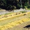 冬水たんぼ 稲刈り〜天日干し