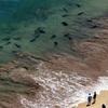 海水浴場にドチザメ30匹…茨城・久慈浜