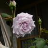 2014/05/22 スターリングシルバーって「青バラ」の先駆けなんだってねえ!!