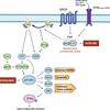 PI3K/AKT/mTORC1情報伝達系阻害剤(乳癌):エベロリムス vs alpelisib