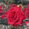 京成バラ園・GWの開花状況は? 「3分咲き」でも十分楽しめる!
