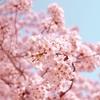 もうすぐ桜が咲く!