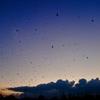 平城宮跡 燕のねぐら入り/真夏の夕刻。四方から飛んでくる燕の大群。ことばを失うほどダイナミックです。