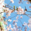 新宿 満開の桜