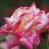 秋の薔薇【最終回】