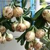 玉ねぎを収穫し始めました(4月の家庭菜園)