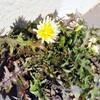 シロバナタンポポの開花と二日月