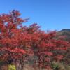 箱根 強羅公園の紅葉 (11月21日現在)