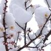 【PHOTO】春雪・・・やっと咲いた梅も固まる。