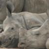 猟の標的となる5大動物の一つ、サイの密猟が南アフリカで激増