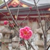 神戸)綱敷天満神社の梅