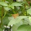 キタテハ、シジミ、セセリと昆虫達がにぎやかにやってきた。
