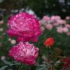 相模原北公園のバラ