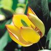 今日の誕生花「トウオガタマ」甘いバナナの香りが漂ってきます!