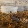 スラッグクロウラ、メキシコハダカアシナシイモリ