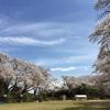 桜は満開になりましたが、春ダイコンの畑に大霜が降りました。
