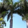 オーストラリア生活・ヤシの木の切り倒し風景