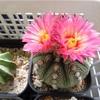 ピンク花のサボテン達