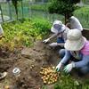 菜園プロジェクト ジャガイモ堀