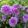 神秘的な紫色の花が再び! 2年目のアスター・ミステリーレディ
