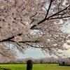 そろそろ最後の桜です